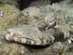 Crocodile fish by Andrew Macleod 